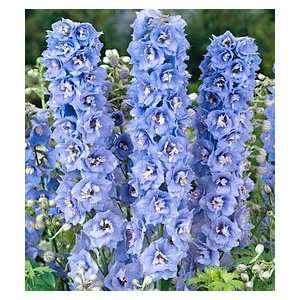 Delphinium   Magic Fountains Sky Blue/White Bee Patio